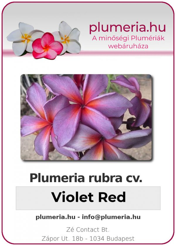 "Plumeria rubra ""Violet Red"""