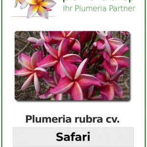 "Plumeria rubra ""Safari"""