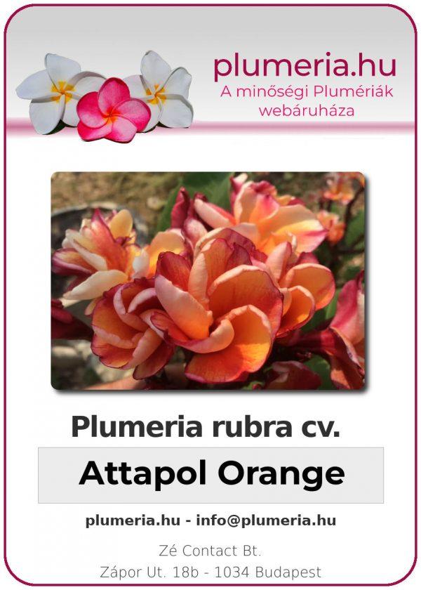 "Plumeria rubra ""Attapol Orange"""
