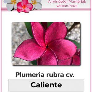 """Plumeria rubra """"Caliente"""""""