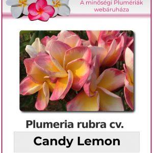 "Plumeria rubra ""Candy Lemon"""