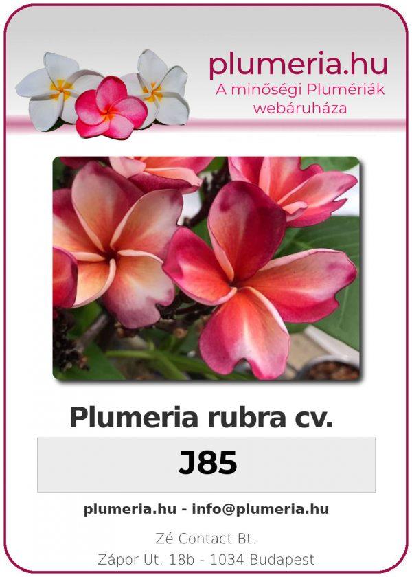 "Plumeria rubra ""J85"""