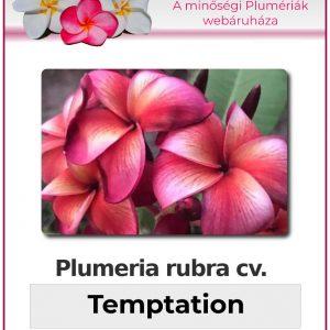 "Plumeria rubra ""JJ Temptation"""