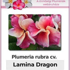 "Plumeria rubra ""Lamina Dragon"""