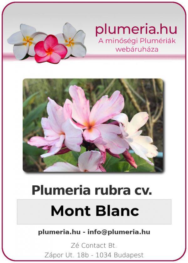 "Plumeria rubra ""Mont Blanc"""