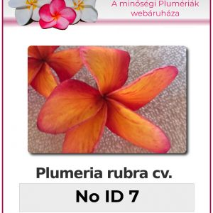"Plumeria rubra ""No ID 7"""