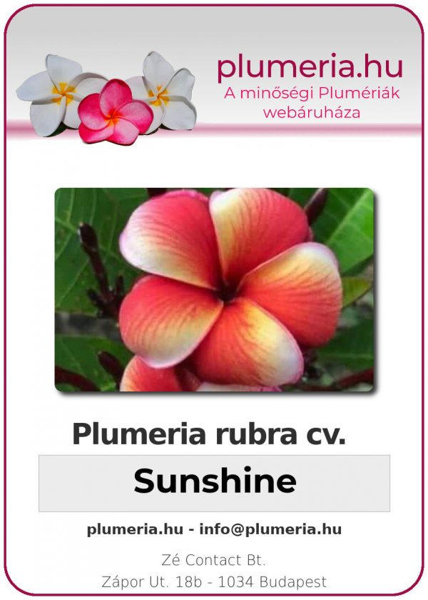 "Plumeria rubra ""Sunshine"""