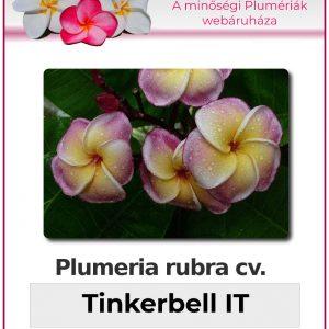 "Plumeria rubra ""Tinkerbell"""