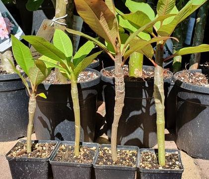 Plumeria rubra Magoncok