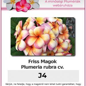 "Plumeria rubra ""J4"""