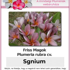 """Plumeria rubra """"Sgnium"""""""
