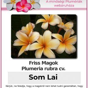 "Plumeria rubra ""Som Lai"""