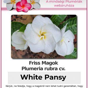 """Plumeria rubra """"White Pansy"""""""